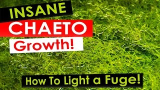 Download Insane Chaeto Algae Growth - How to light your refugium with Chaetomorpha Video