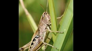 Download Breaking: ″Plague Of Locust Hits Tiny Greek Island″ Video