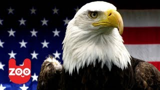Download America's Greatest Animals: The Bald Eagle Video
