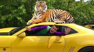 Download Tigris ATTACKED Mr. Joe on Chevrolet Camaro & Red Man climbed on Roof of Car Lambo 13+ Video