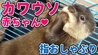 Download カワウソの赤ちゃんをお迎えしました♪指おしゃぶりがめちゃ可愛い! Sucking Toe of the baby otter Video