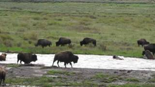 Download Bison Calf Swept Down River Video