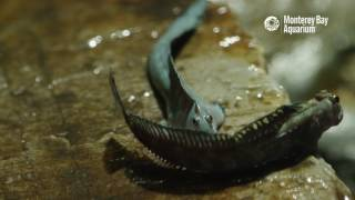 Download The Leaping Blenny—A Terrestrial Fish Video