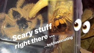 Download TERRIFIED of Huntsman SPIDERS, but BUYS a new ORANGE one !!! (feat. Jumping Spiders) Video