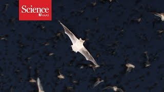 "Download Meet ""Chirocopter"": A drone that flies within swarms of bats Video"