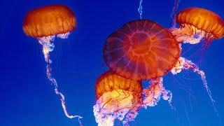 Download Live Jelly Cam - Monterey Bay Aquarium Video