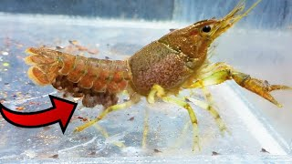 Download My Lobster Crawfish Eggs FINALLY HATCHED! Video