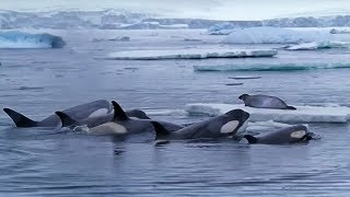 Download Killer Whales Working Together to Hunt Seals on Ice | BBC Earth Video
