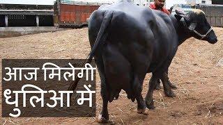 Download Jafarabadi buffalo available for sale at today (21 August 2018) Dhulia Mandi Maharashtra Video