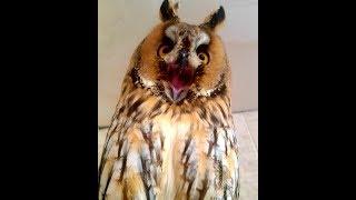 Download Все звуки Ушастой совы Кёрби Video