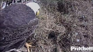 Download SWFL Eagles ~ M15 Completely Covers Up the Egg 11.25.16 Video