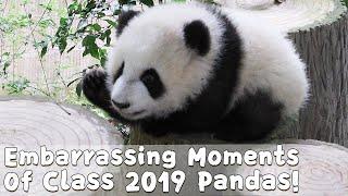 Download Embarrassing Moments Of Class 2019 Pandas!   iPanda Video