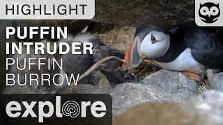 Download Puffin Burrow Intruder - Project Puffin - Live Cam Highlight Video