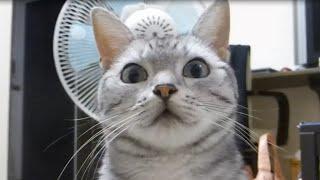 Download 飼い主に台風をお知らせしまぁ~す!~心配性な猫おしゃべりあめちゃん -Cat and Typhoon Video