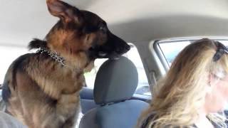 Download German Shepherd suddenly realizes he is at the vet Video