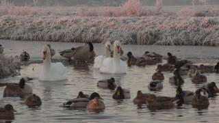 Download Vroege Vogels - Watervogels op een kluitje in wak Video