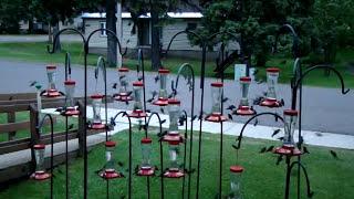 Download Swarming Hummingbirds Video