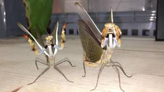 Download Parasphendale Males Video