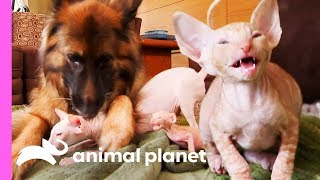 Download Five Cornish Rex Kittens Meet Some New Fluffy And Scaly Friends | Too Cute! Video