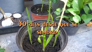 Download Logra que tus ajos rebroten (Allium sativum) Video