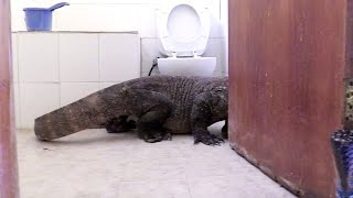 Download Komodo Dragon In Bathroom! - Planet Earth II Video