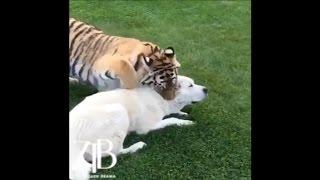 Download Тигр против алабая Video