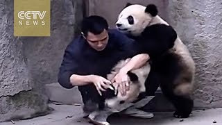Download Cute Alert!Clingy pandas don't want to take their medicine Video