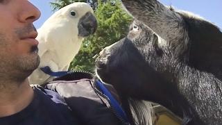 Download Umbrella Cockatoo″Joseph″ At Beacon Hill Children's Farm-Victoria Island BC Canada Video