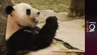Download 🇨🇳 Saving China's Pandas - 101 East Video