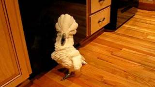 Download umbrella cockatoo going mad in kitchen floor. but a happy bird Video