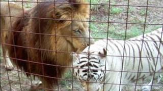 Download Lion + White Tiger = Cameron & Zabu! Video