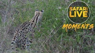 Download Serval Seeks a Snack Video