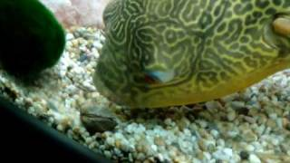 Download Pablo the puffer fish Video