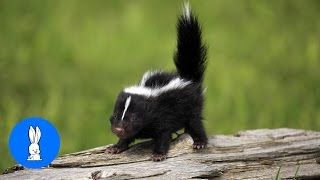 Download Baby Skunks Trying To Spray - Funniest Compilation Video