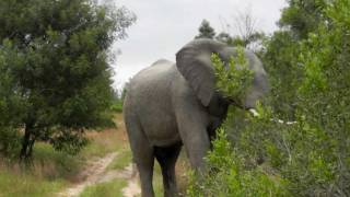 Download Elephant Chase in South Africa. Very Terrifying! Video