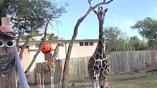 "Download ""Anyone want a baby giraffe?? "" At Topeka Zoo! Video"