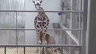 Download Elizabeth's Marathon Milkbar! Topeka Zoo Video