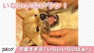 Download いないいないばぁ! 柴犬の表情が可愛すぎる…!💕 【PECO TV】 Video