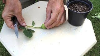 Download How To Hybridize New Roses with Rose Breeder Guest Brad Jalbert Video