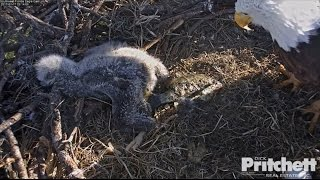 Download Southwest Florida Eagles - E9, 17 Days Old / January 17, 2017. (1) Video