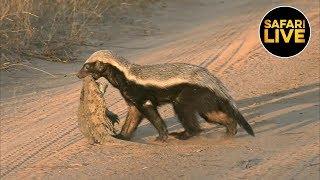 Download safariLIVE - Sunset Safari - July 18, 2019 Video