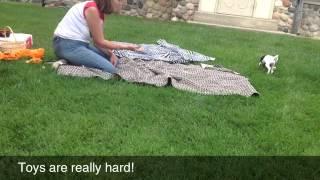Download Italian greyhound tricks Video