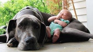 Download Quand les chiens protègent des bébés Video
