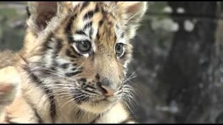 Download 10월의 동물 시베리아호랑이 아기호랑이 삼남매 Video