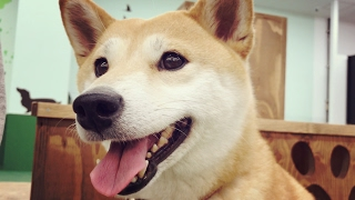 Download ド緊張の室内ドッグランデビュー The Indoor dog run Video
