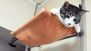 Download ♀猫こむぎがキャットタワーから落ちた次の朝! ムササビになった🎵 Video