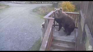 Download Bear 273 & Velcro caught chewing platform Brooks falls Katmai 2016 10 06 23 52 25 223 Video