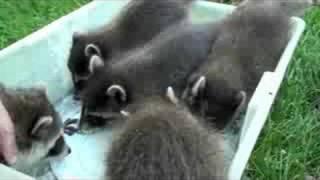 Download Mushing baby raccoons Video