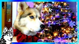 Download CHRISTMAS AND CHILL | Husky Christmas Tree 2016 Video