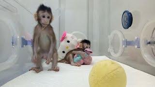 Download Zhong Zhong & Hua Hua - the first cloned macaque monkeys Video